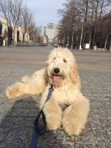 Goldendoodle Dallas TX