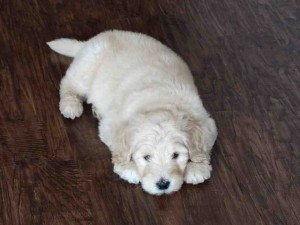 goldendoodle breeders