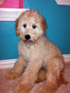 Goldendoodle Dallas Texas