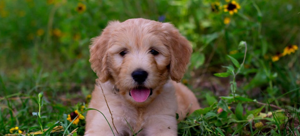 goldendoodle-in-the-grass
